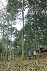 Những cây dổi rừng cao chót vót