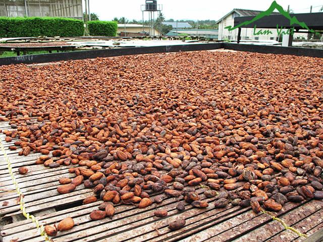 [Bí truyền] cách chế biến ca cao nguyên chất từ quả cacao tươi