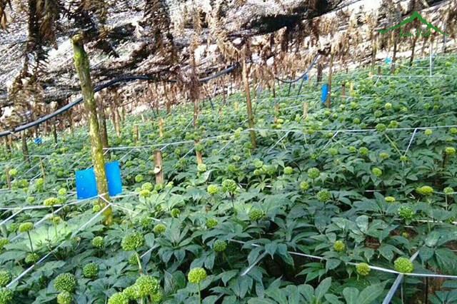 Vườn trồng cây tam thất lấy hoa quy mô lớn